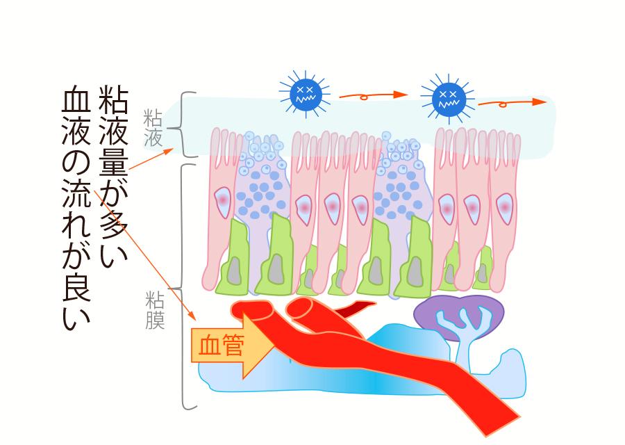 良い血流で粘液の分泌量が増えウイルスの侵入を防御