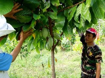 植林で立派に育っているカカオの木