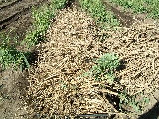収穫されたオウギ(根)