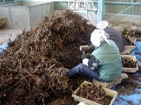 収穫されたシャクヤクを「根」と「苗」に選別します