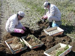トウキの苗掘り起こし