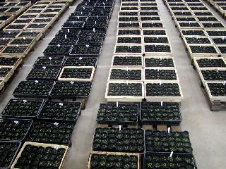ムラサキ苗を植えたポット